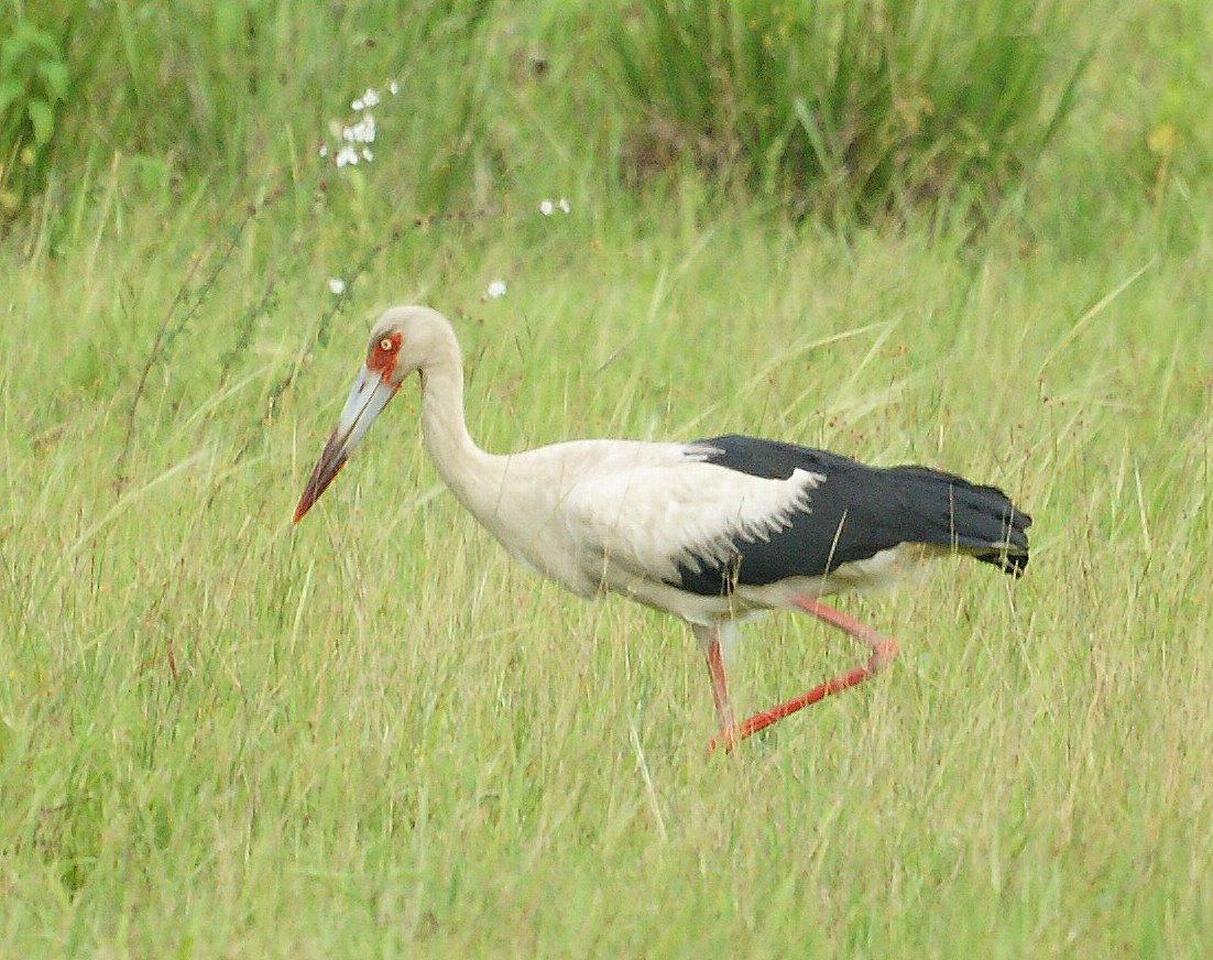 Maguari Stork Pics, Animal Collection