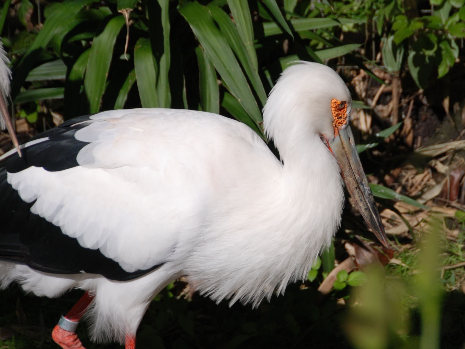 Nice Images Collection: Maguari Stork Desktop Wallpapers