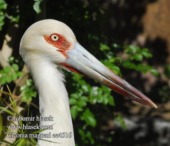 Maguari Stork Backgrounds on Wallpapers Vista