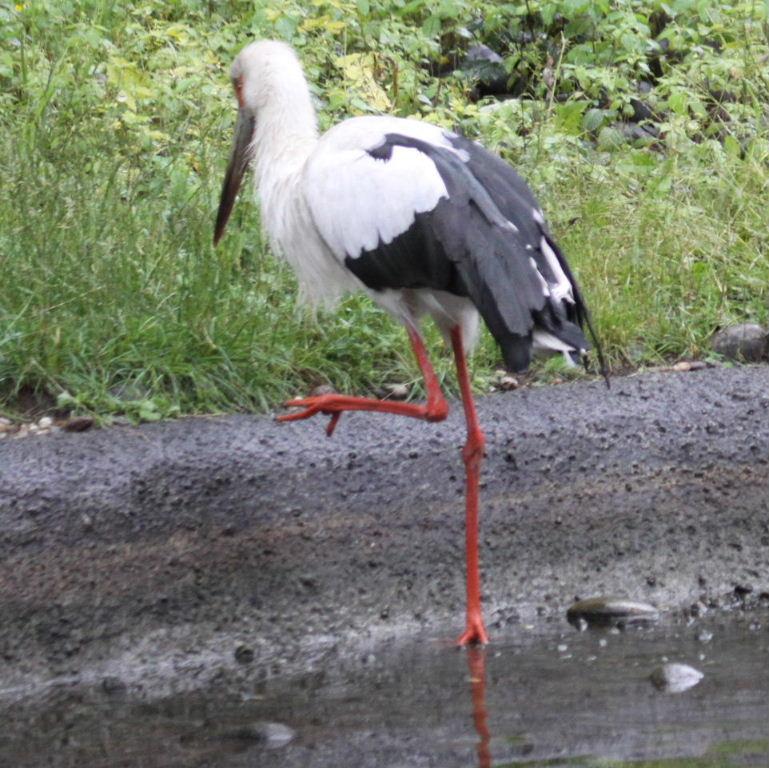 Images of Maguari Stork | 769x768