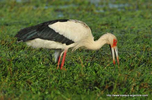 HD Quality Wallpaper | Collection: Animal, 500x331 Maguari Stork