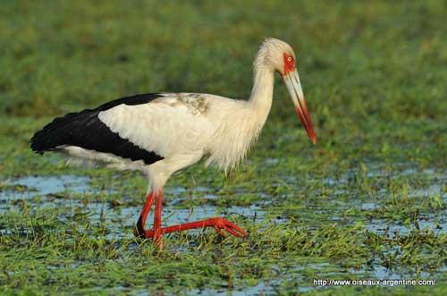 500x331 > Maguari Stork Wallpapers