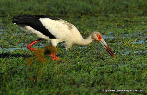 Maguari Stork High Quality Background on Wallpapers Vista