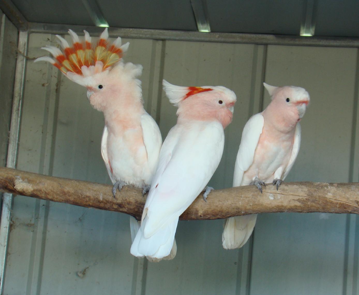 Major Mitchell's Cockatoo Pics, Animal Collection