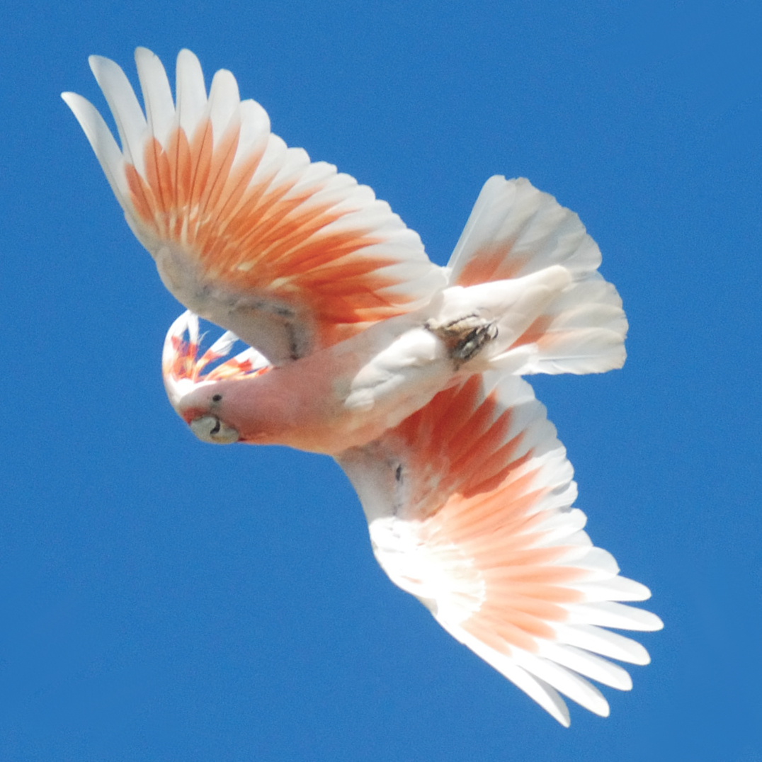 HQ Major Mitchell's Cockatoo Wallpapers | File 998.08Kb