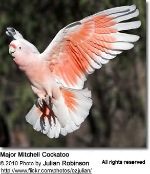 Nice Images Collection: Major Mitchell's Cockatoo Desktop Wallpapers
