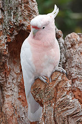 Amazing Major Mitchell's Cockatoo Pictures & Backgrounds