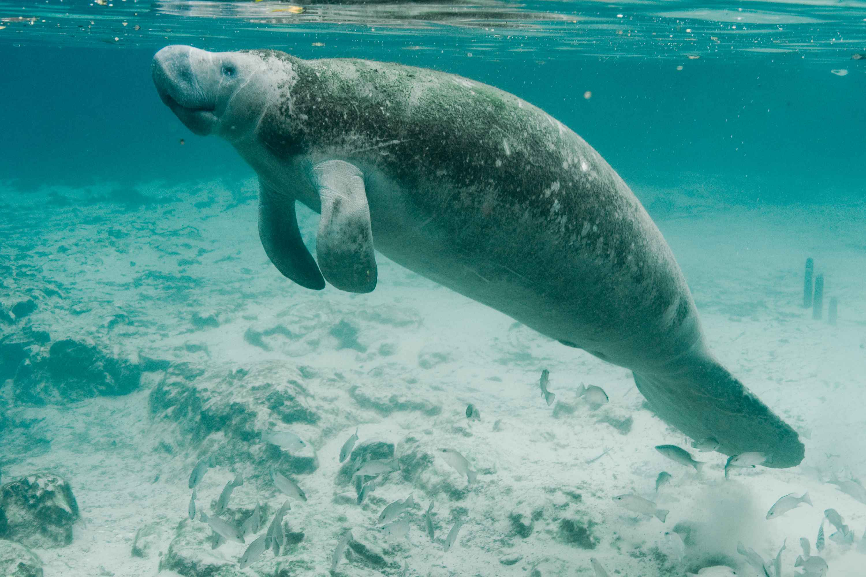 HQ Manatee Wallpapers | File 340.77Kb