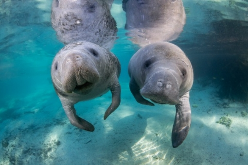 Amazing Manatee Pictures & Backgrounds