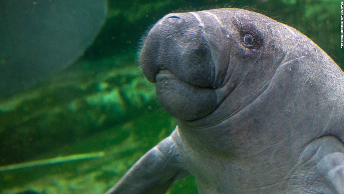 Nice Images Collection: Manatee Desktop Wallpapers
