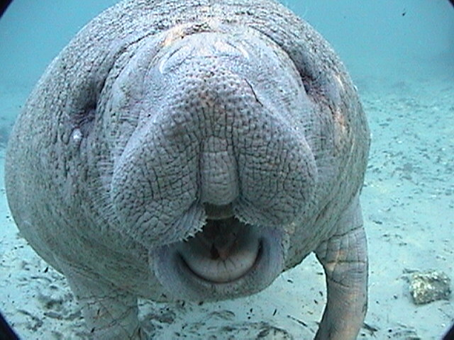 HD Quality Wallpaper | Collection: Animal, 640x480 Manatee