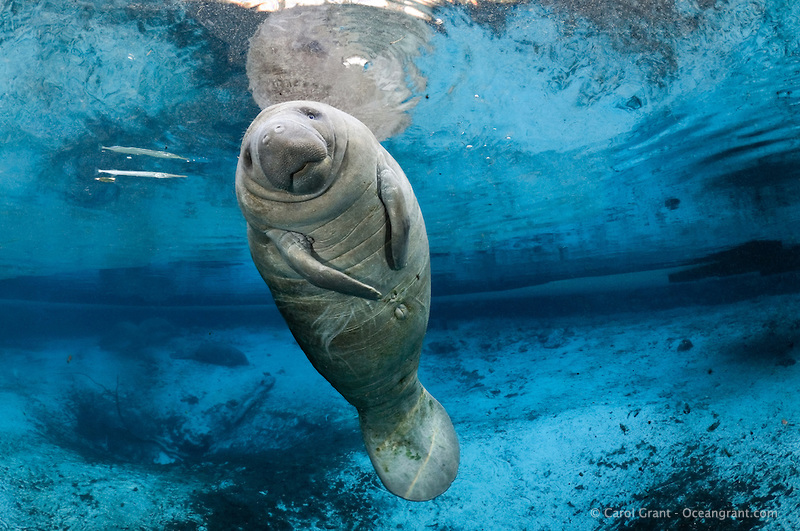 Manatee Backgrounds on Wallpapers Vista