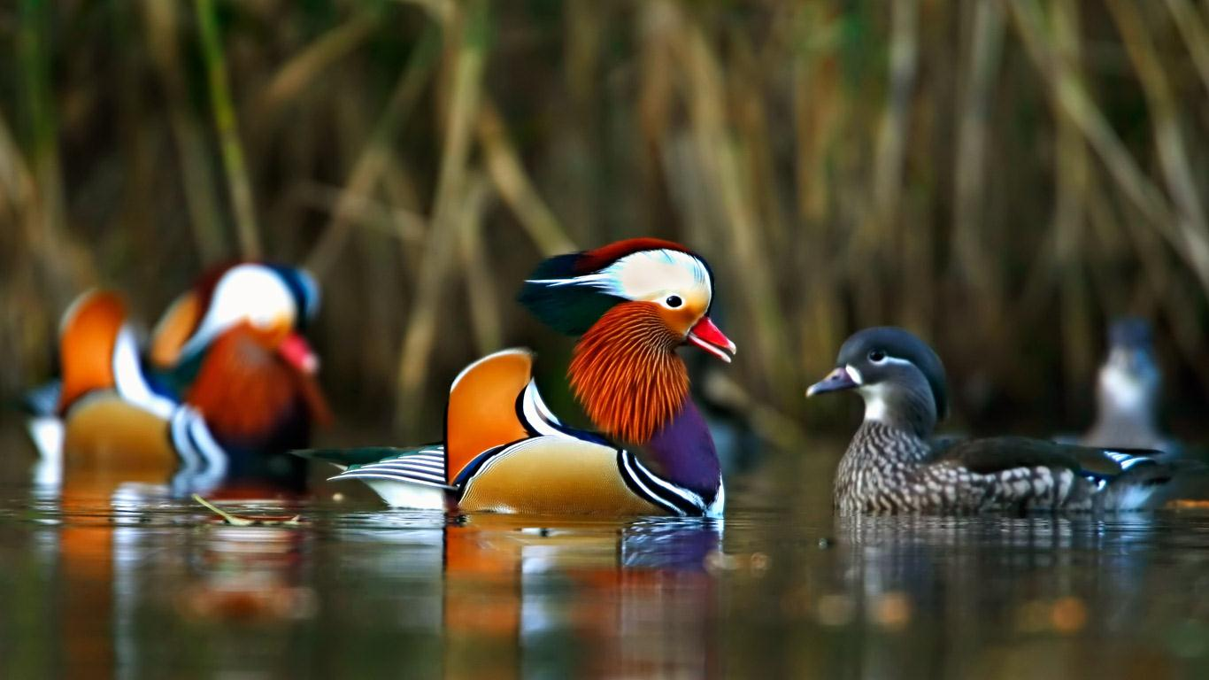 Images of Mandarin Duck | 1366x768