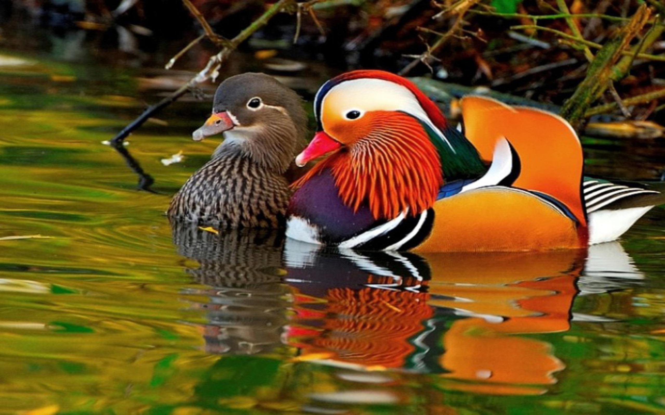 Nice wallpapers Mandarin Duck 2560x1600px
