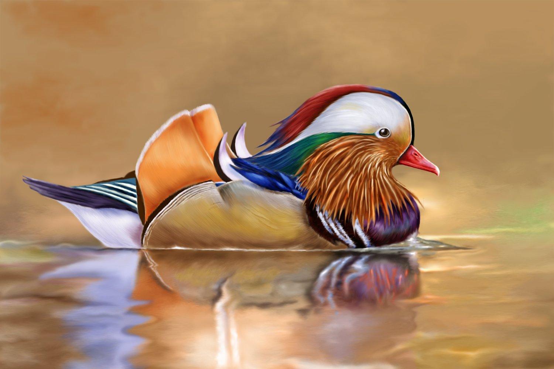Images of Mandarin Duck | 1500x1000