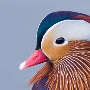 350x350 > Mandarin Duck Wallpapers