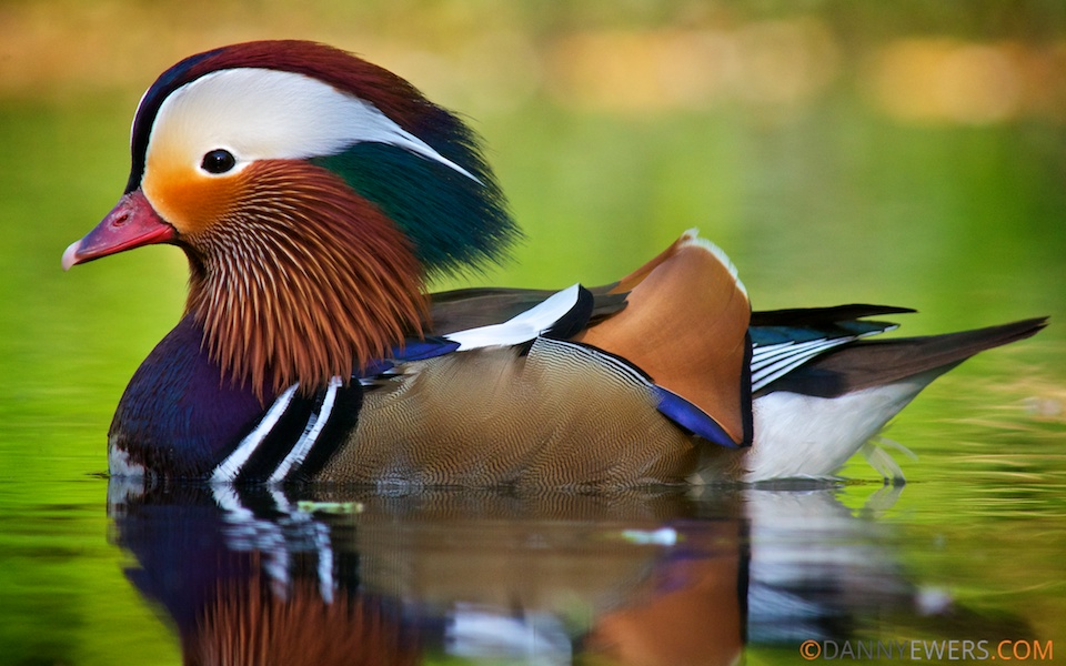 Mandarin Duck High Quality Background on Wallpapers Vista