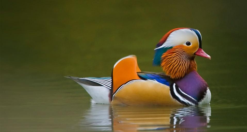 Mandarin Duck HD wallpapers, Desktop wallpaper - most viewed