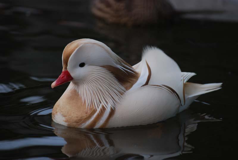 800x536 > Mandarin Duck Wallpapers