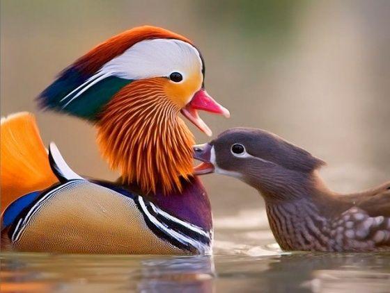Images of Mandarin Duck | 560x422