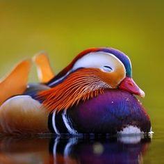 High Resolution Wallpaper | Mandarin Duck 236x236 px
