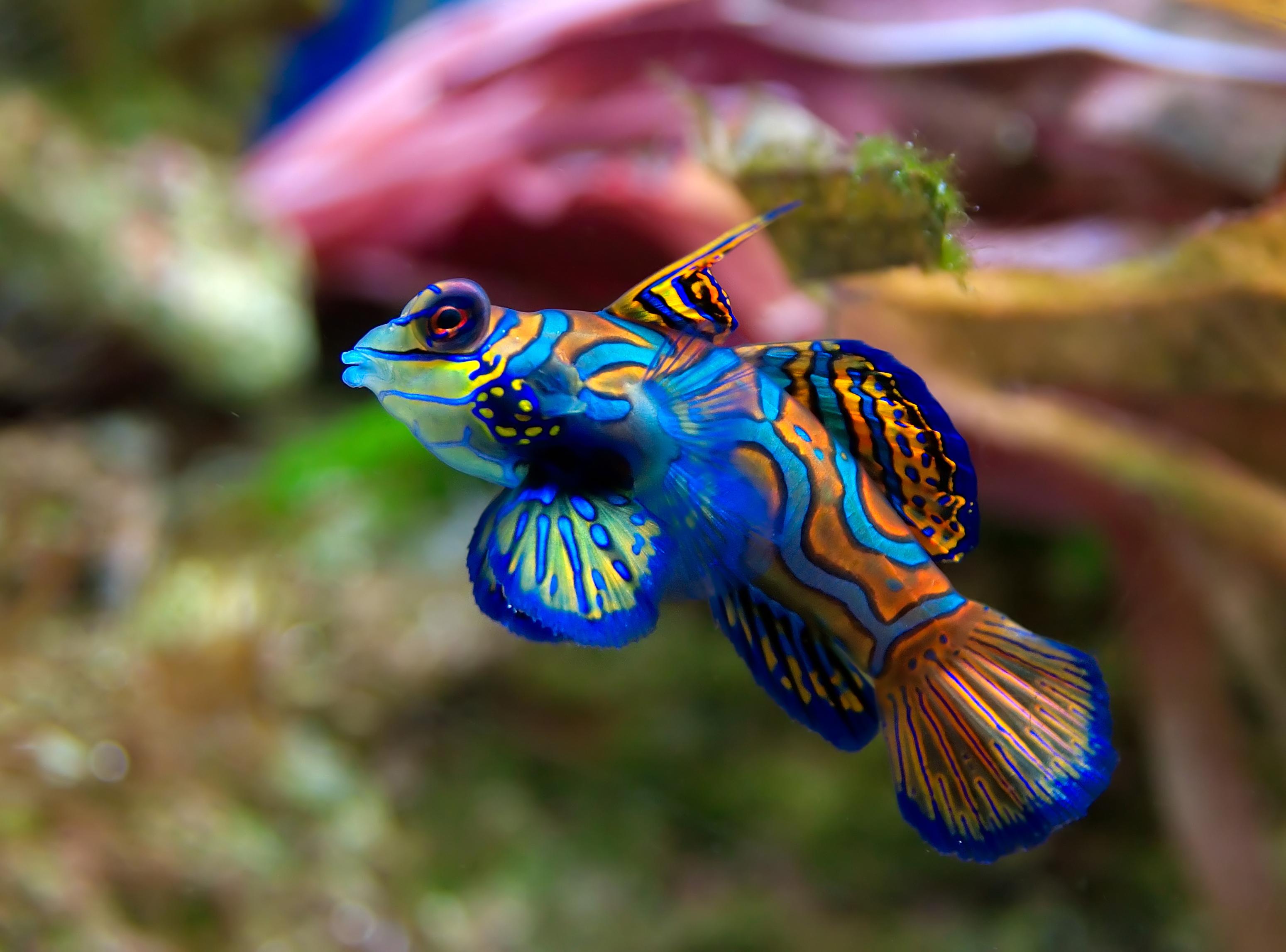 Images of Mandarinfish | 3098x2294