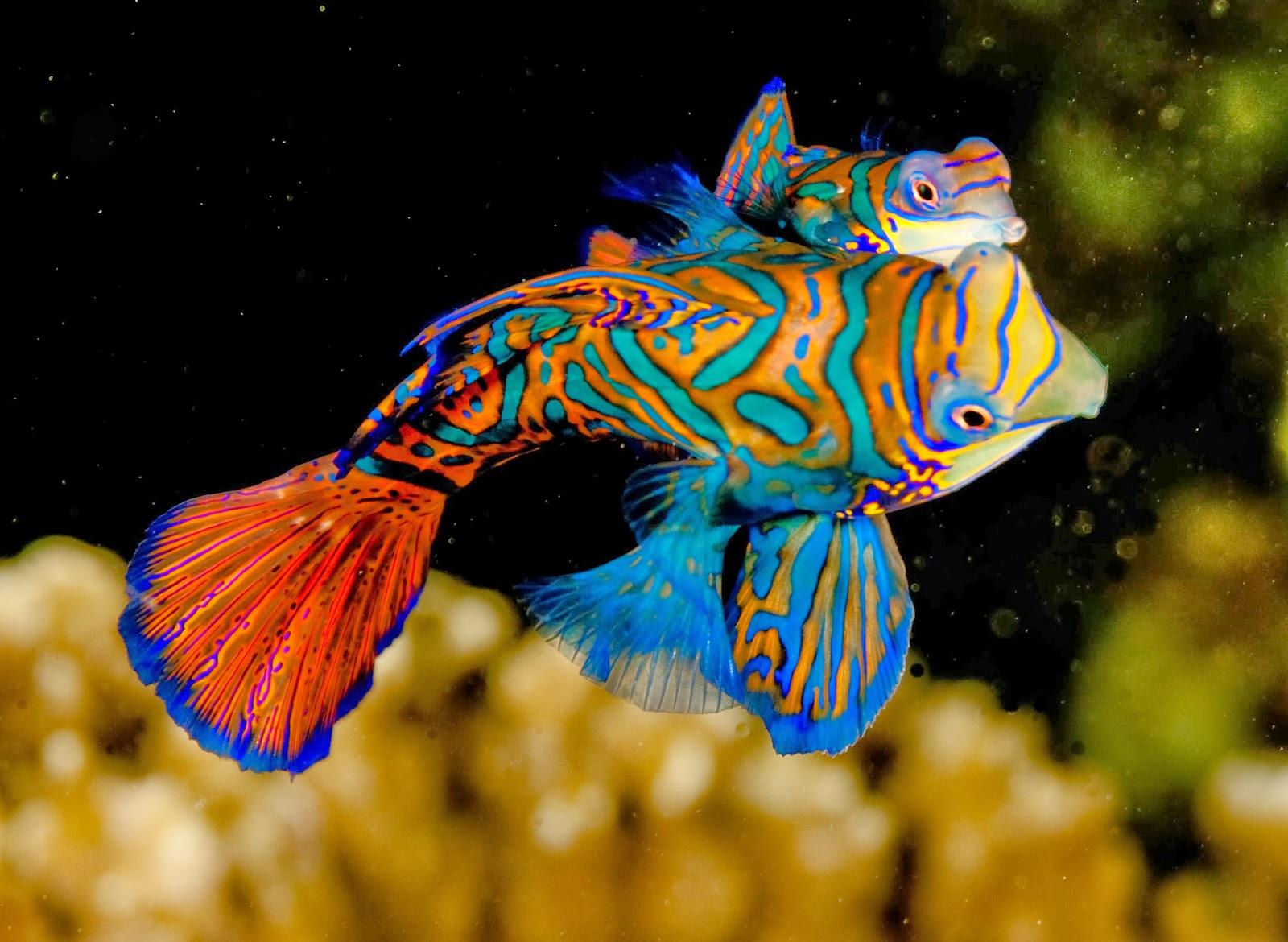 Mandarinfish Backgrounds, Compatible - PC, Mobile, Gadgets| 1600x1170 px