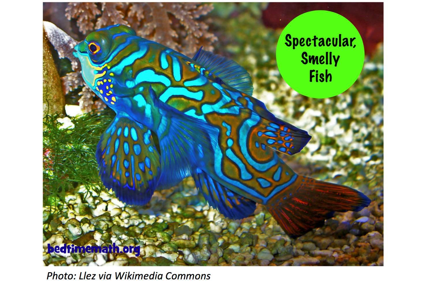 Mandarinfish Backgrounds, Compatible - PC, Mobile, Gadgets| 1480x987 px