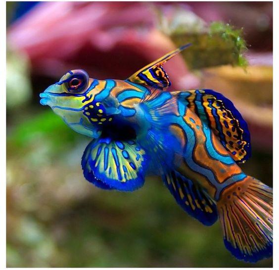 564x546 > Mandarinfish Wallpapers