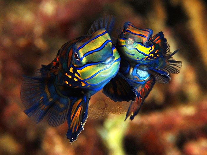Nice Images Collection: Mandarinfish Desktop Wallpapers