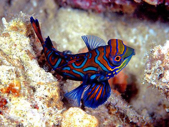 Mandarinfish Pics, Animal Collection