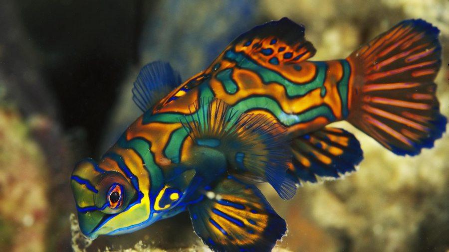 HQ Mandarinfish Wallpapers | File 69.34Kb