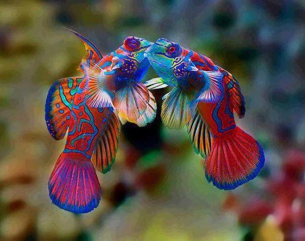 Amazing Mandarinfish Pictures & Backgrounds