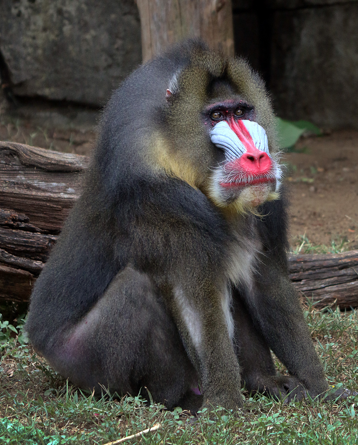 Nice Images Collection: Mandrill Desktop Wallpapers