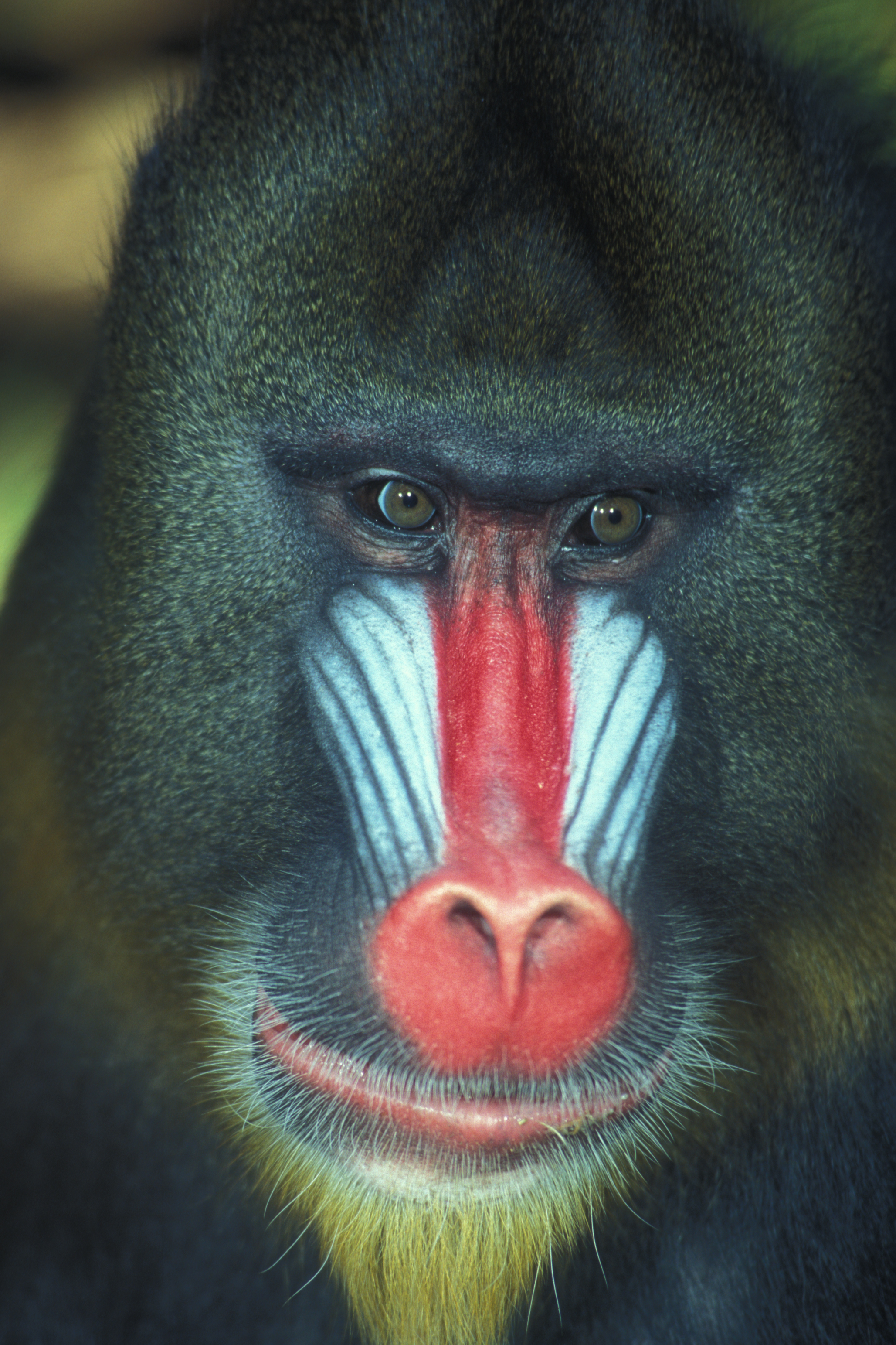 Mandrill High Quality Background on Wallpapers Vista