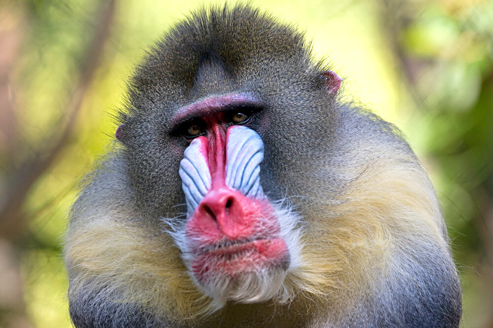 Mandrill Backgrounds, Compatible - PC, Mobile, Gadgets| 1000x667 px