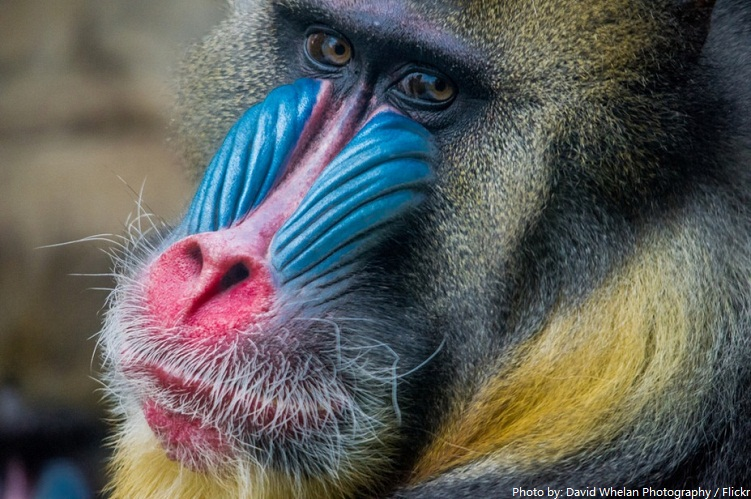 Amazing Mandrill Pictures & Backgrounds