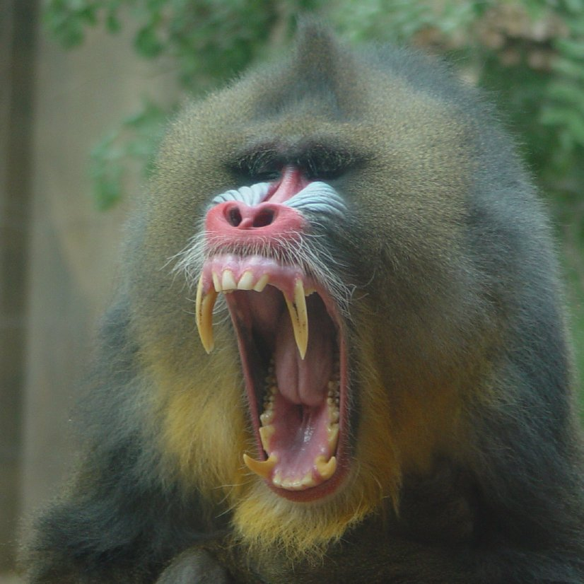 Nice wallpapers Mandrill 826x826px