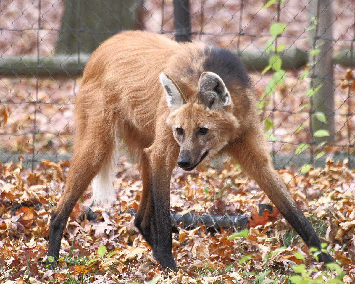 1200x960 > Maned Wolf Wallpapers