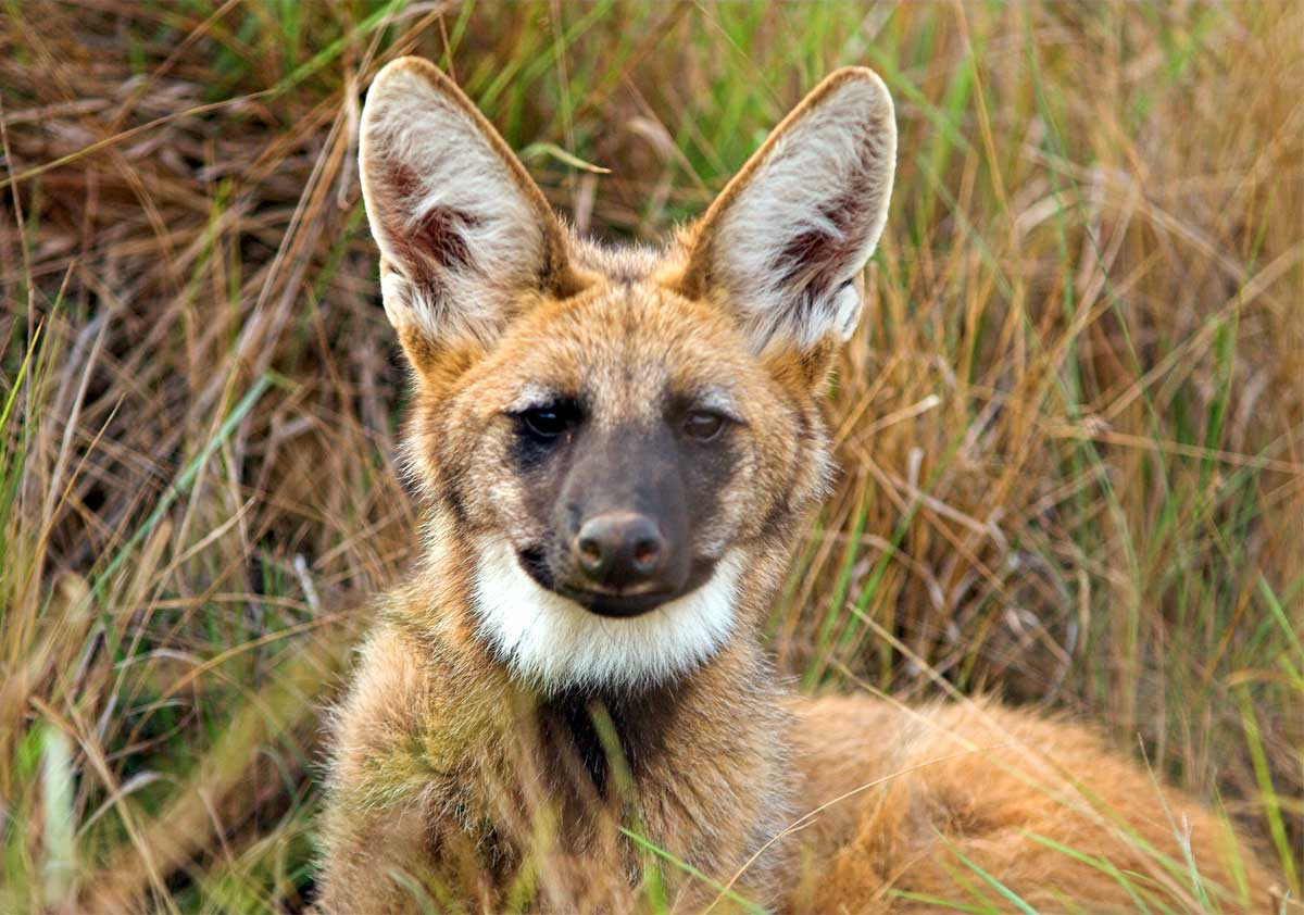 HQ Maned Wolf Wallpapers | File 118.24Kb