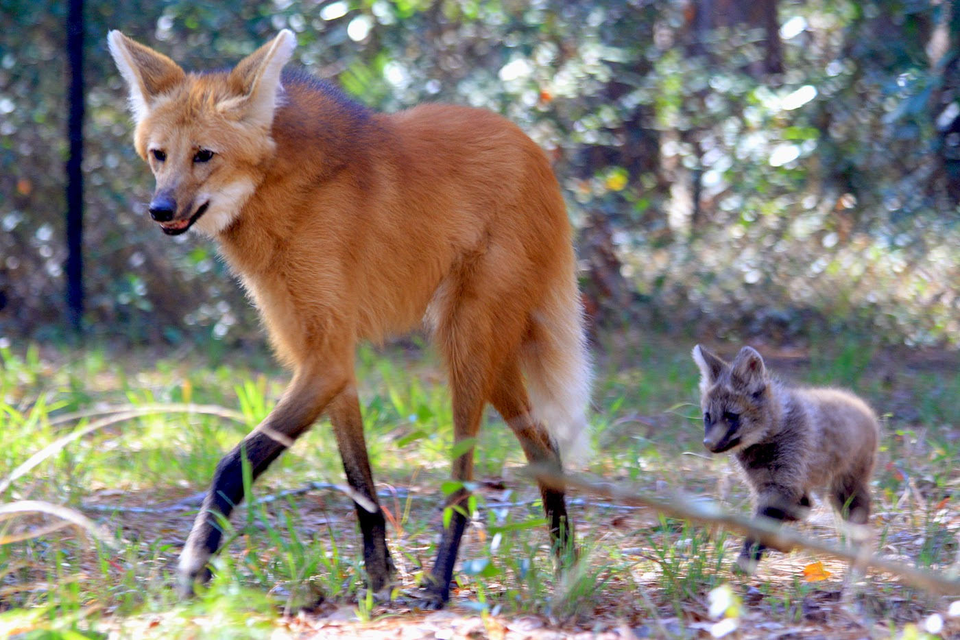 Nice Images Collection: Maned Wolf Desktop Wallpapers