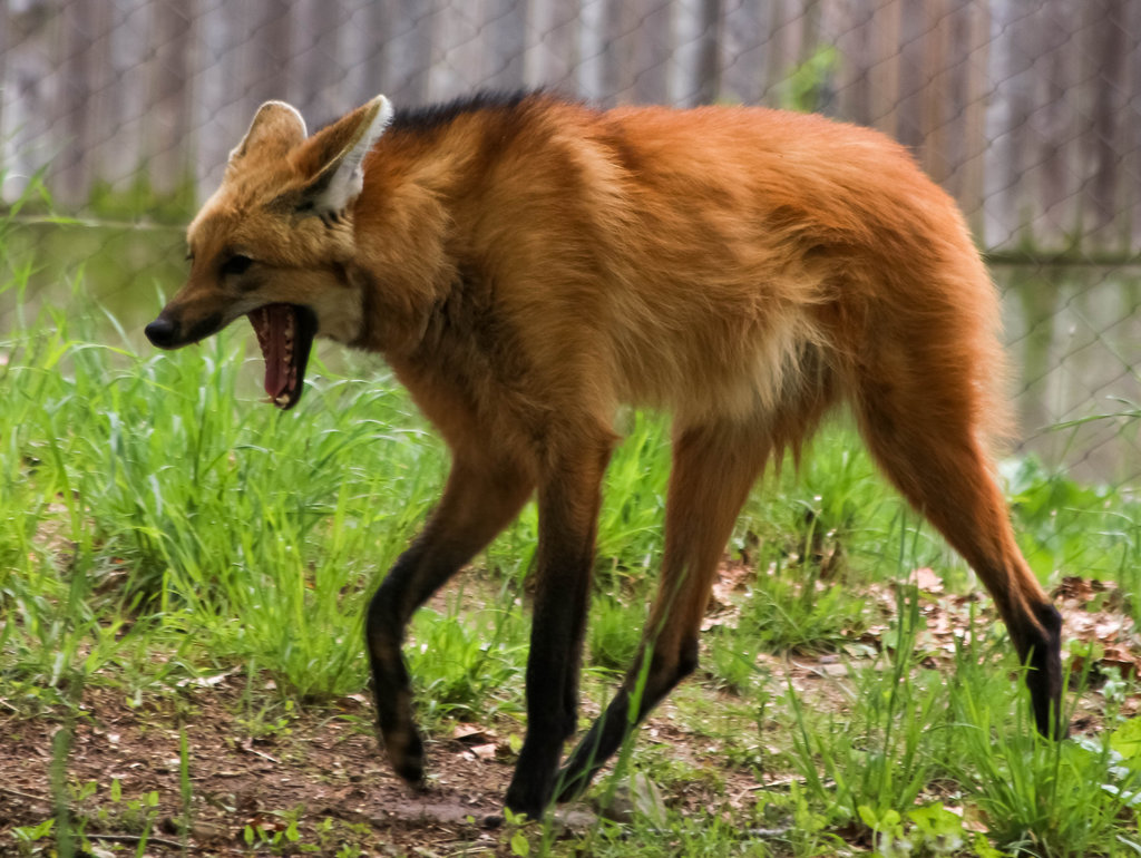 1024x770 > Maned Wolf Wallpapers