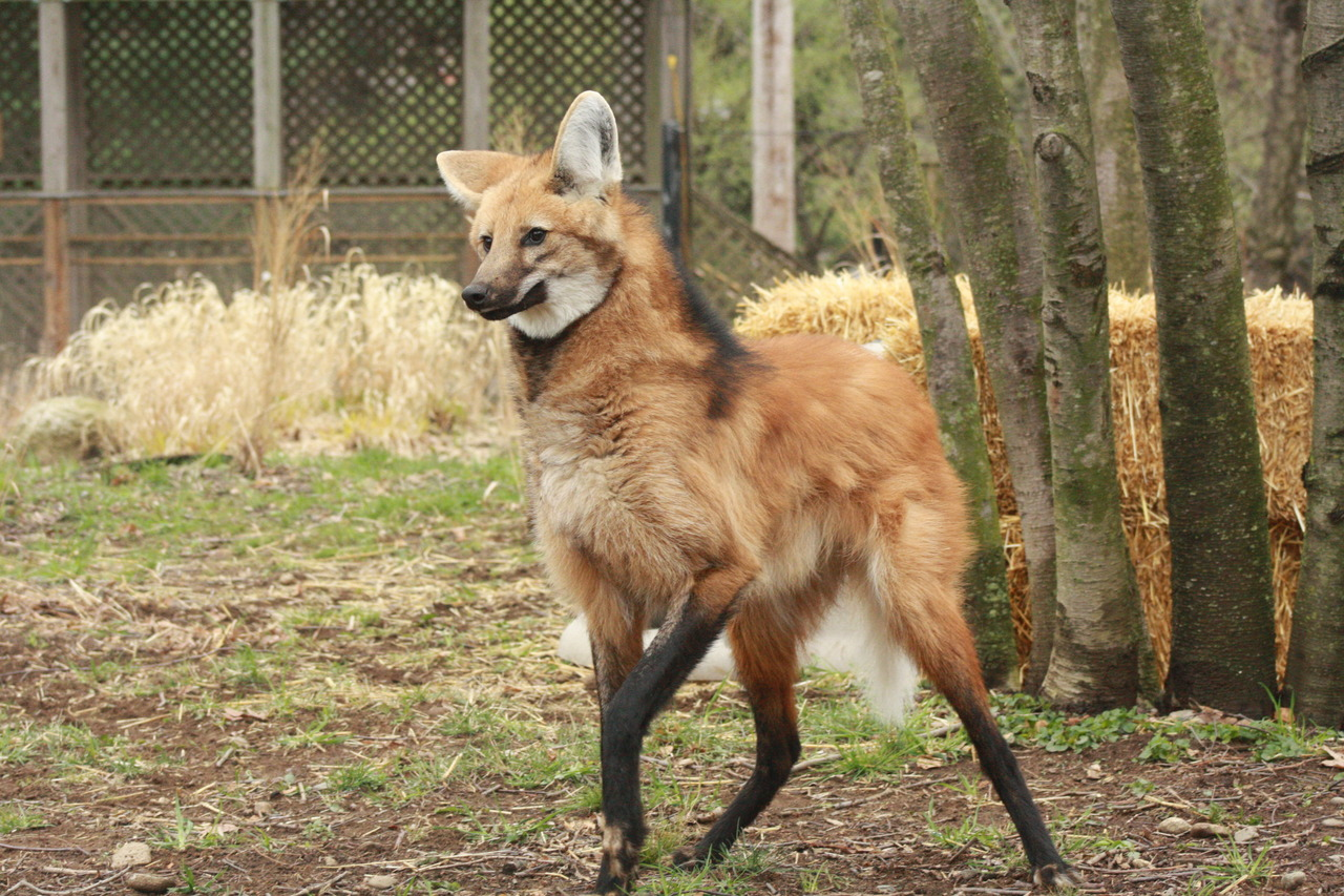 Maned Wolf Pics, Animal Collection