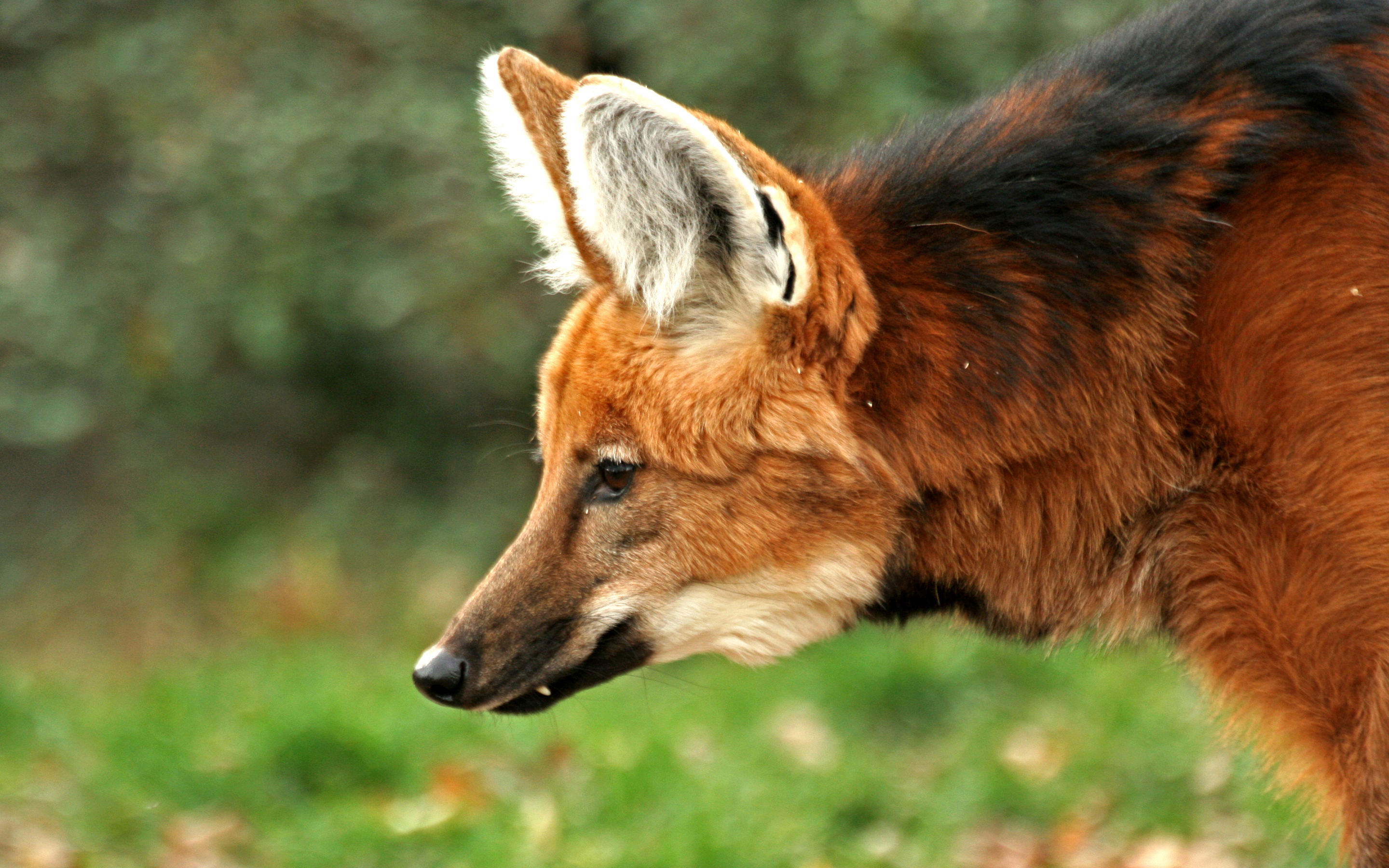 Maned Wolf Backgrounds, Compatible - PC, Mobile, Gadgets| 2880x1800 px
