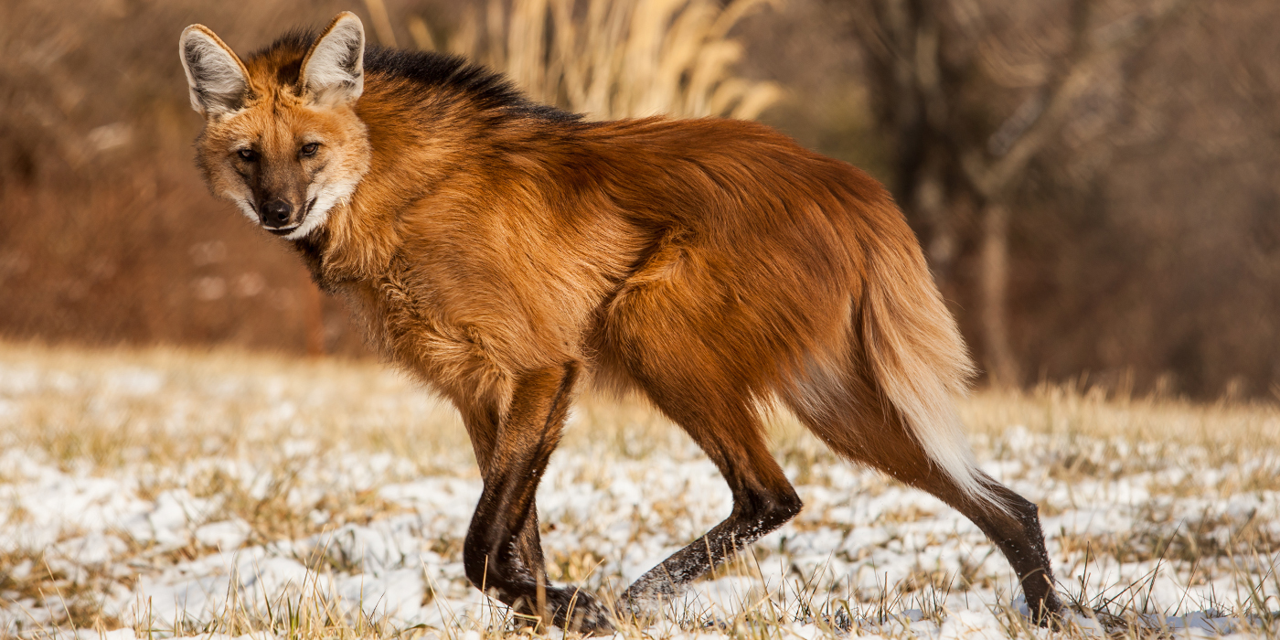 Images of Maned Wolf | 1400x700