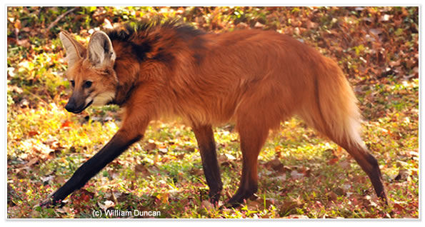 Nice wallpapers Maned Wolf 595x318px
