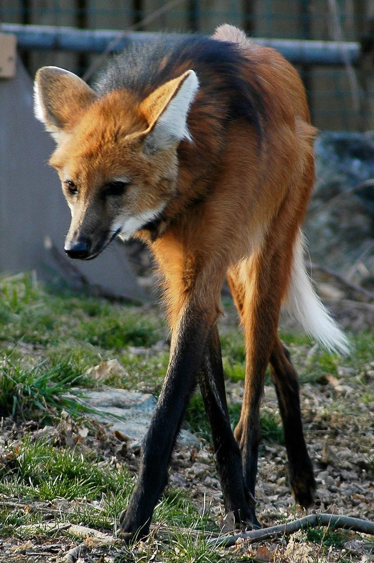 High Resolution Wallpaper | Maned Wolf 736x1106 px