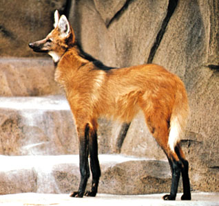 HQ Maned Wolf Wallpapers | File 32.74Kb