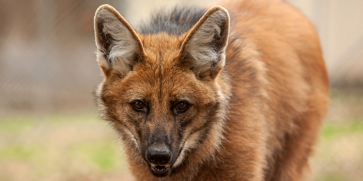Maned Wolf High Quality Background on Wallpapers Vista
