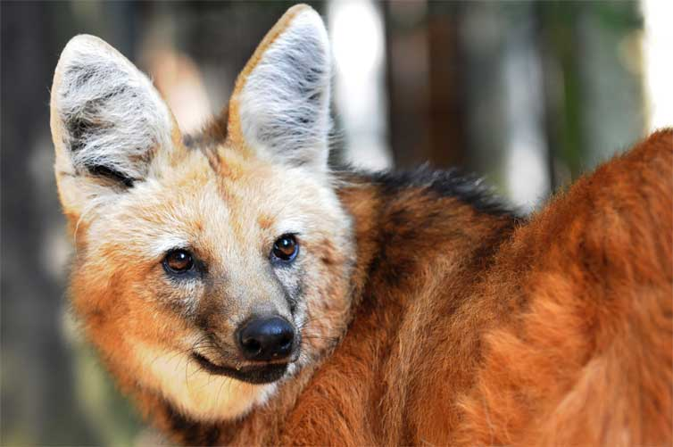 Nice wallpapers Maned Wolf 754x501px